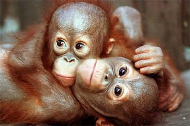 Orangutan introduction for essay?